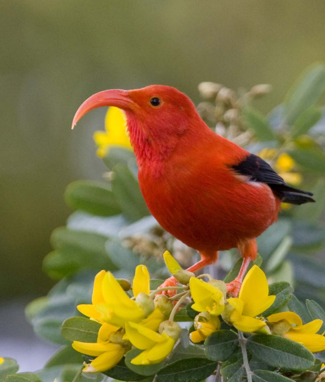 As Climate Warms Hawaiian Forest, Birds Lose More Ground