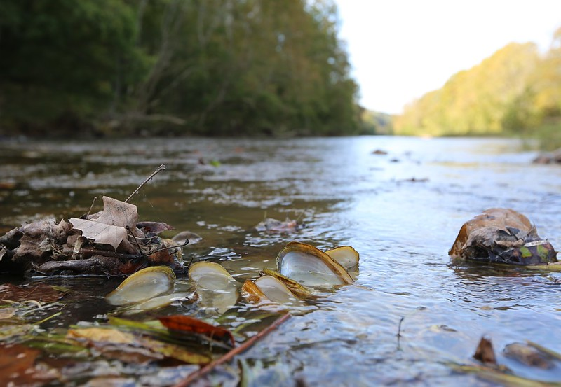Dead mussel shells in the Clinch River.