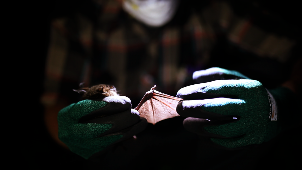 a researcher holds a bat by its wings