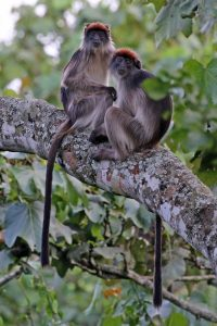 two red colobus in a tree
